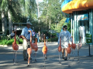 The flamingoes go for a walk.