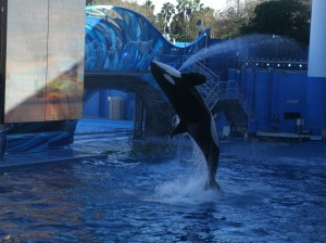 The killer whale show